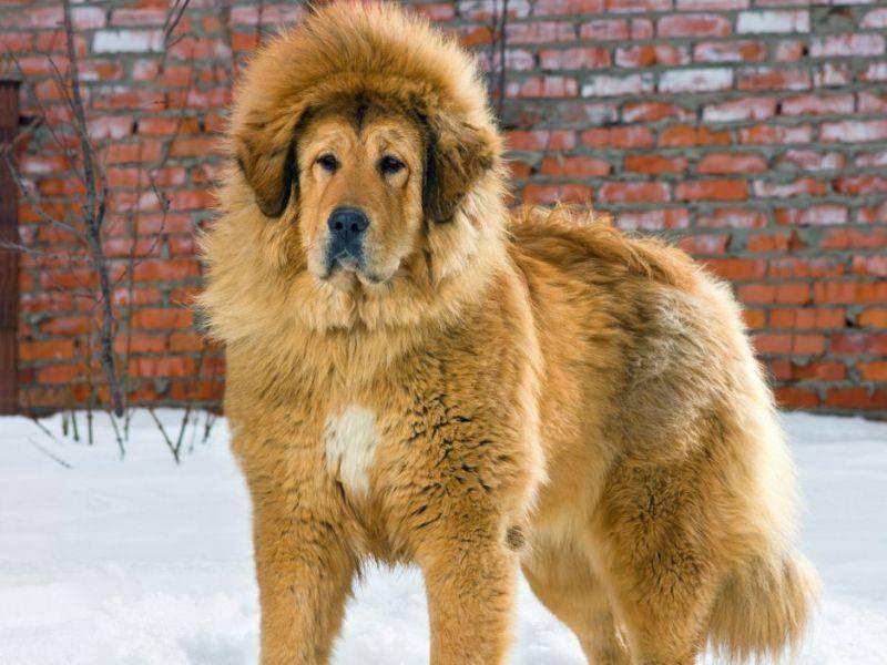 Tibetanische Dogge: 81 Kilogramm reichen für Platz drei.