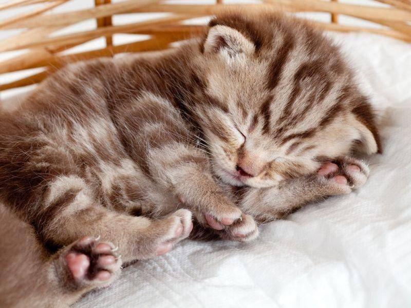 Tigerkatze-Baby-Schlafen
