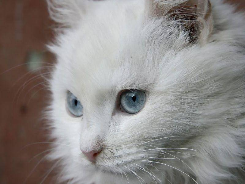 Platz 5: Türkisch Angora mit seidenweichem Fell und außergewöhnlichen Augen