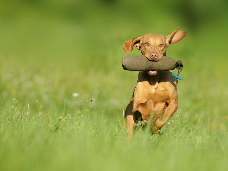 Vizsla: Mit 60 km/h geht der Vierbeiner auf die Jagd.