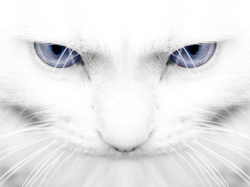 Weisse-Katze-Blaue-Augen
