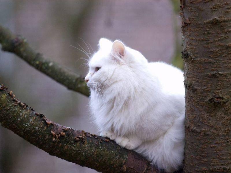 Norwegische Waldkatze auf dem Baum