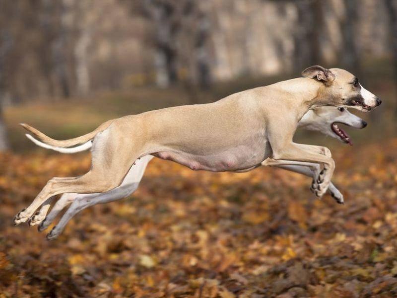 Whippet: Der schlanke Windhund sprintet mit maximal 58 km/h.