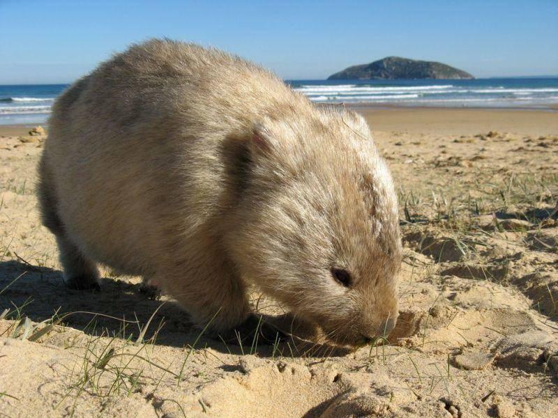Possierliches Wombat