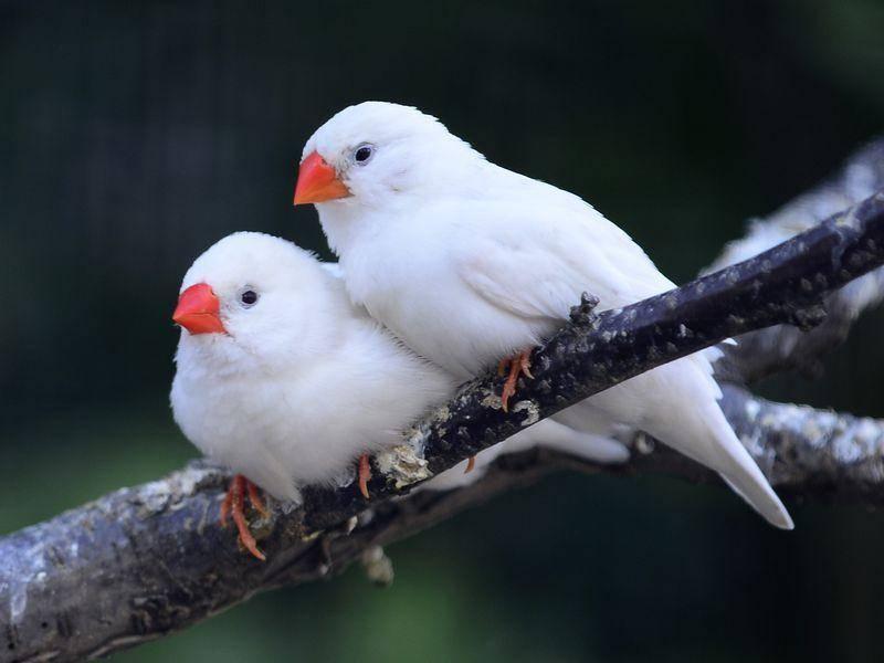 Farbe vergessen? ; ) Zebrafink Vögel in Schneeweiß