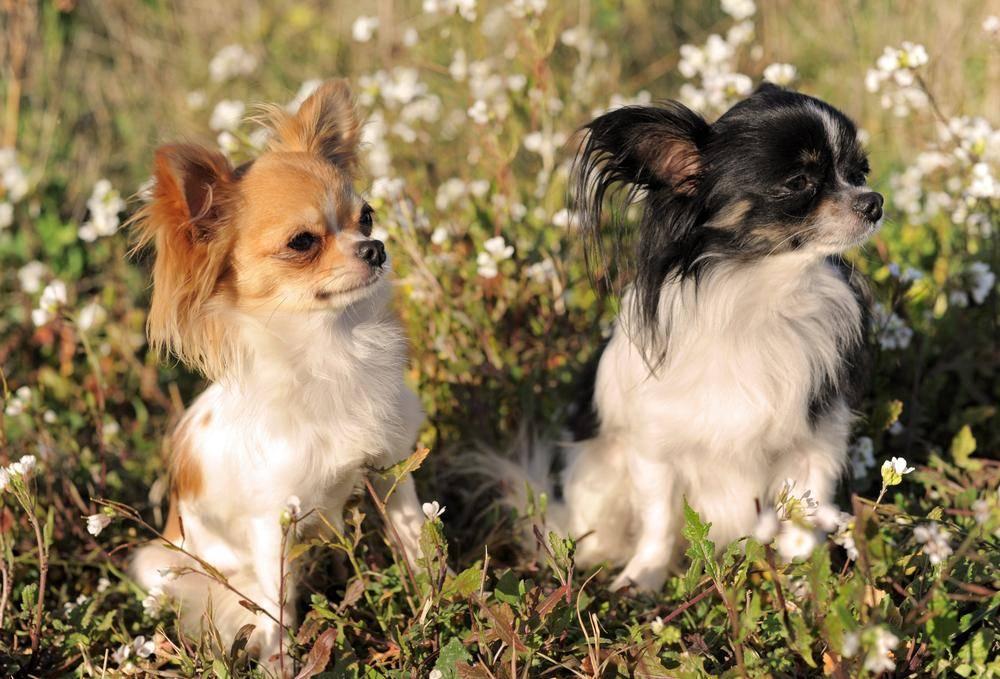 Chihuahua Hund auf Blumenwiese