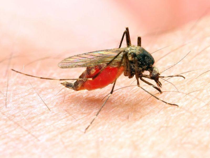 Anophelesmücke: Weltweit sterben rund 600.000 Menschen an dem von der Mücke übertragenen Malaria-Erreger