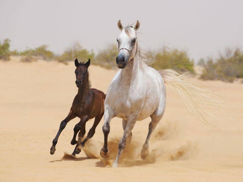 Niedlich: Pferdefamilie galoppiert durch den Sand