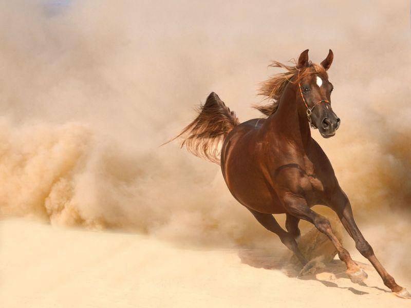 Eines der schnellsten Pferde: Araber beim Wüsten-Galopp
