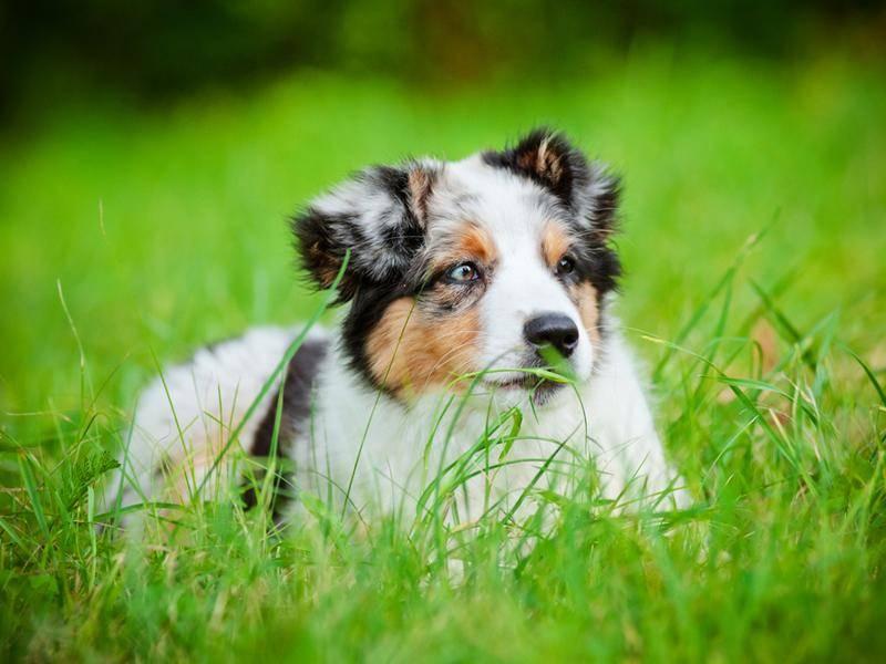 Australian-Sheperd-Hund-Wiese
