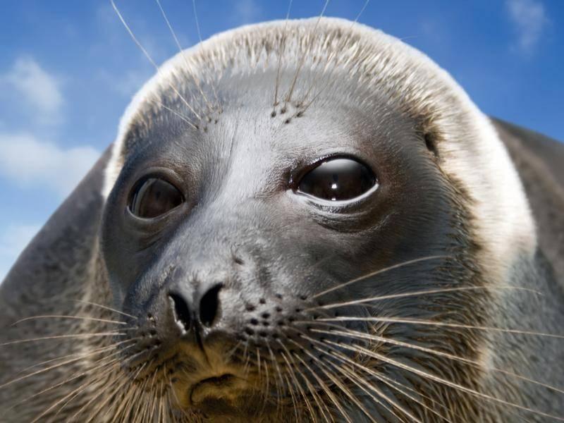 Baikalrobbe: Mit 1,37 Metern Länge die kleinste Robbe der Welt