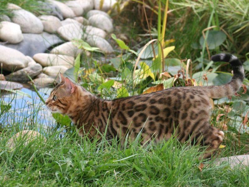 Ganz nah am Teich: Mutig, diese schöne Bengal Katze