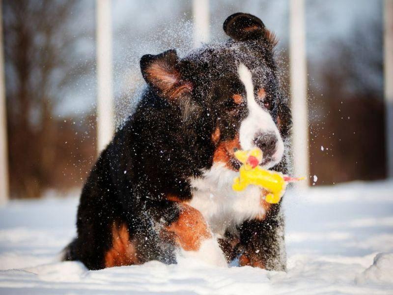 Berner Sennenhund beim Spielen im Schnee