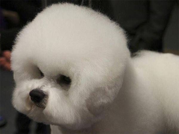Bichon Frisé auf der Westminster Dog Show: Frisiert wie ein Stofftier