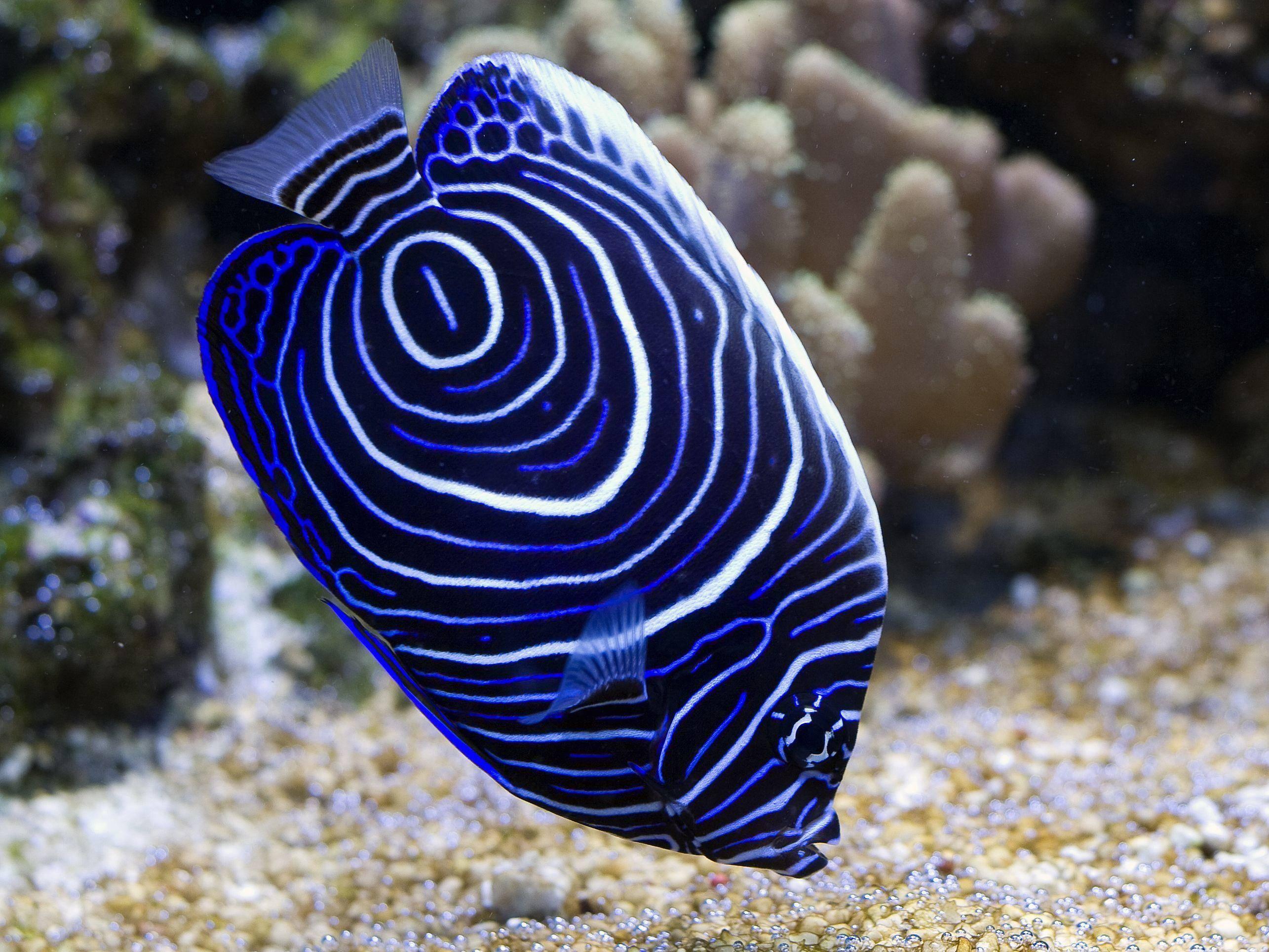 Schön gemustert: Blauguertel-Kaiserfisch
