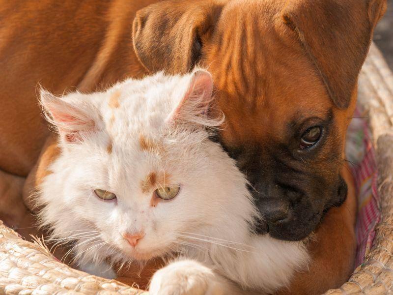 Katze oder Kopfkissen für Hunde? Dieser Boxer findet es jedenfalls gemütlich