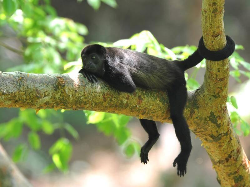 Abhängen für Fortgeschrittene: Brüllaffe aus Costa Rica