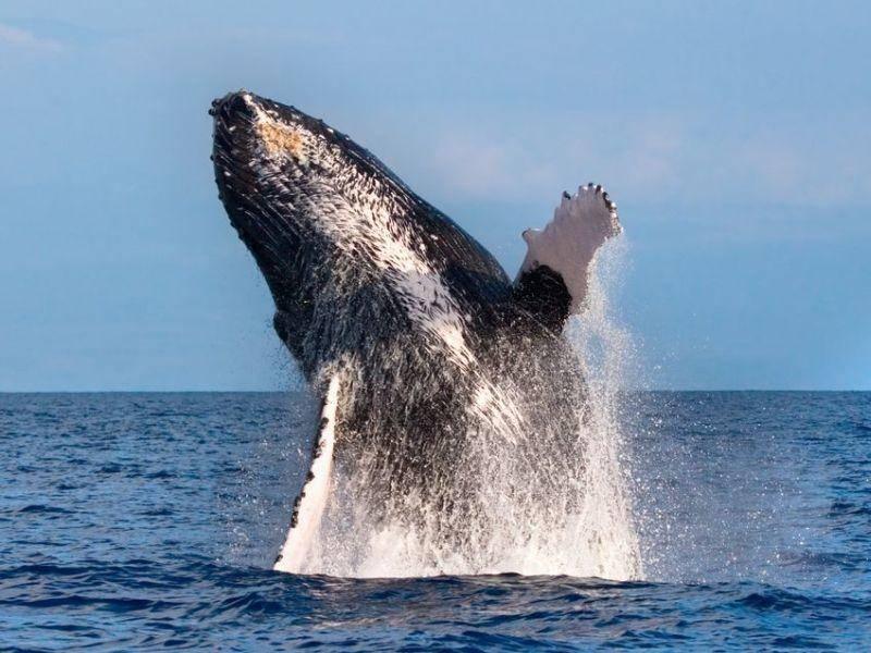 Fast so schön wie Fliegen: Ein Buckelwal springt aus dem Meer Bild