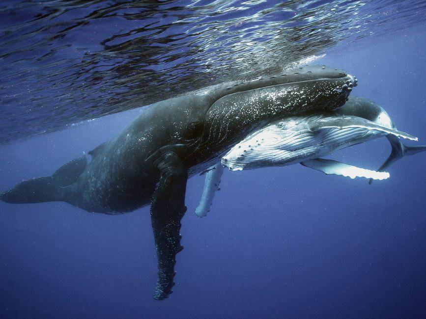 Buckelwalfamilie beim Ausflug durchs Meer
