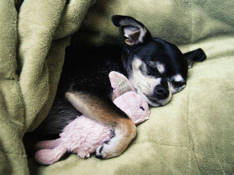 Kuschelhund: Chihuahua macht es sich mit seinem Stofftier gemütlich
