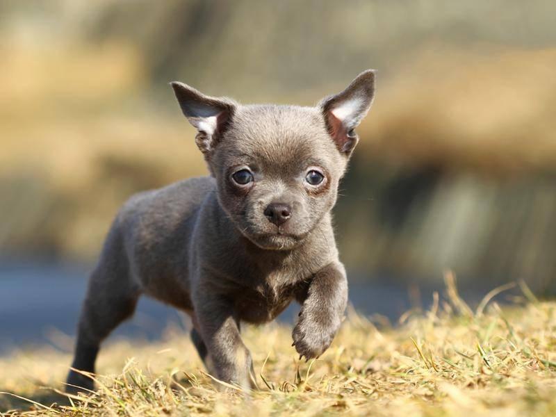 Chihuahua-Welpe: Luna war 2012 der beliebteste Name für Hündinnen