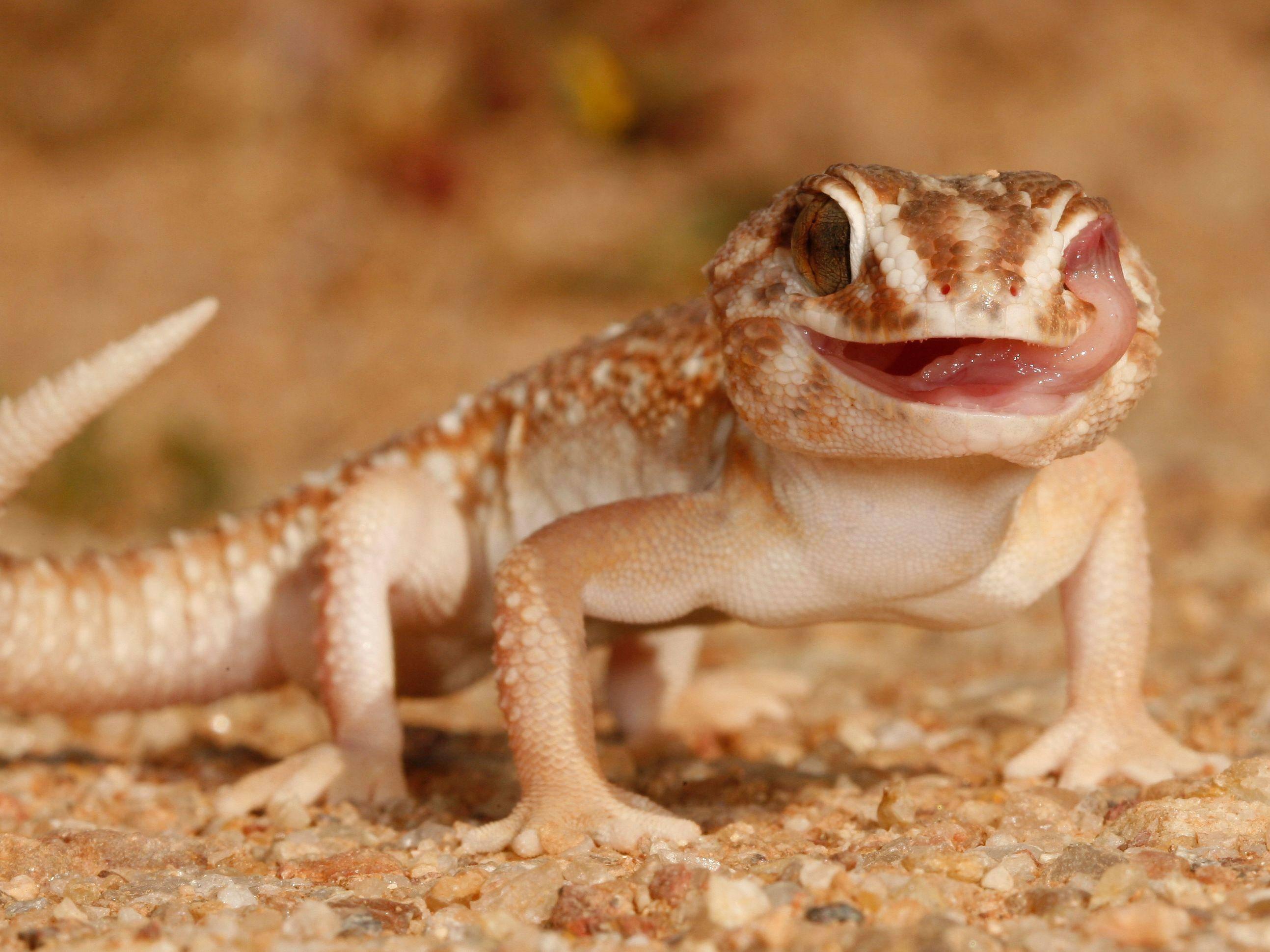 Chondrodactylus Angulifer Gecko: Wie ein kleiner Drache — Bild: Shutterstock / Andre Coetzer