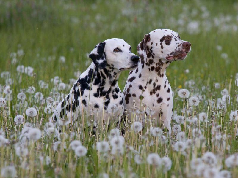 Farblich abgestimmte Hunde: Zwei Dalmatiner genießen den Frühling — Bild: Shutterstock / Lenkadan