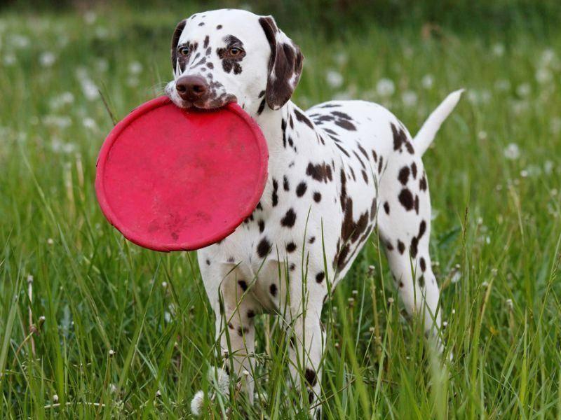 Dalmatiner beweist: Hunde lieben Frisbee spielen