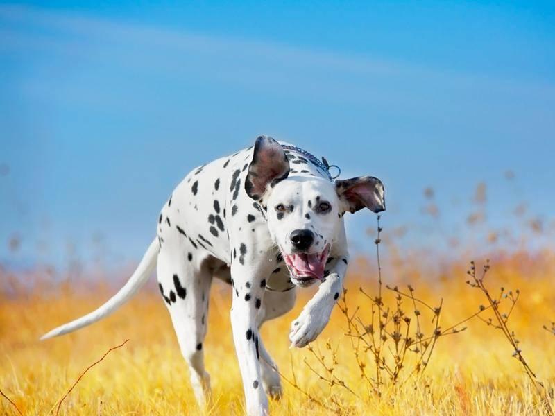 Dalmatiner-Hund-Wiese