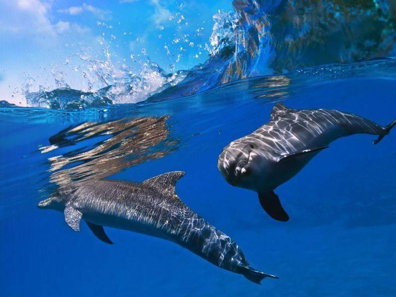 Delfine: Die Meeresbewohner erkennen sich gegenseitig an ihren Lauten