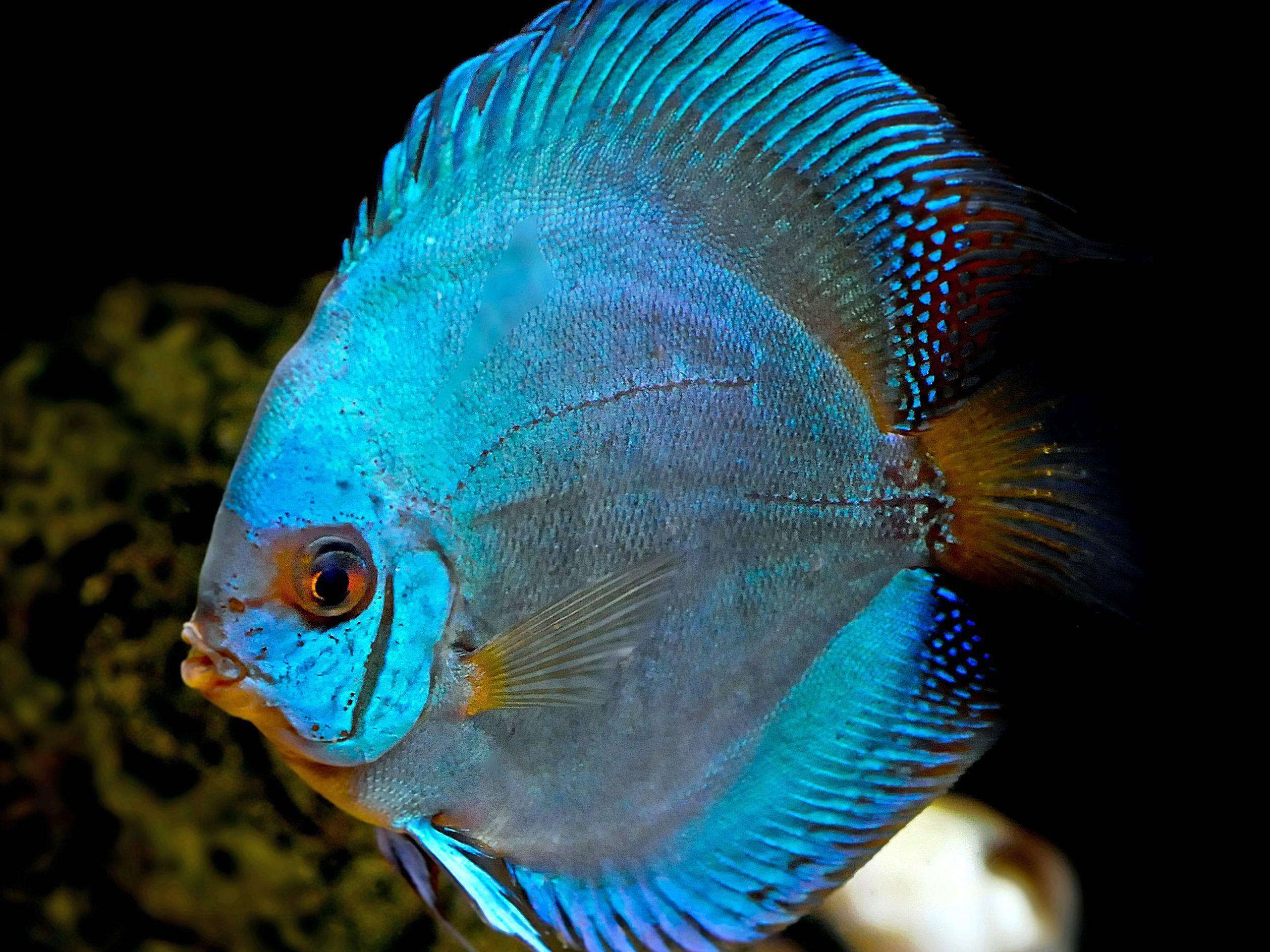 Schillernd blau: Diskusfisch