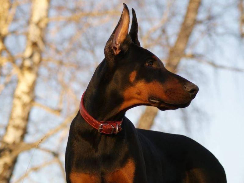 Dobermann: Der eigentlich kinderliebe Hund ist besonders aufmerksam und daher ein hervorragender Wachhund.