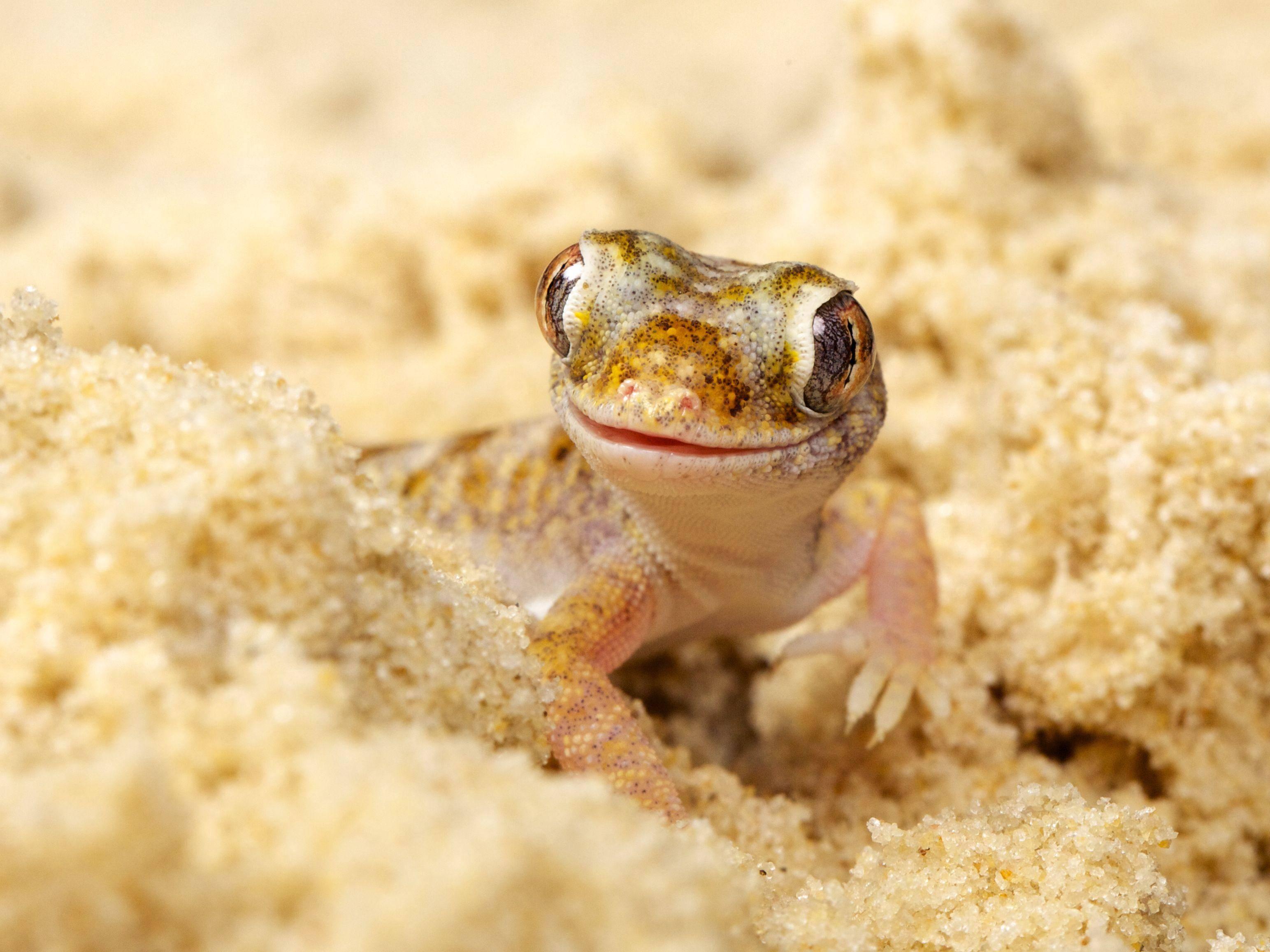 Dünnfingergecko beim Sandbad: Kaum zu sehen