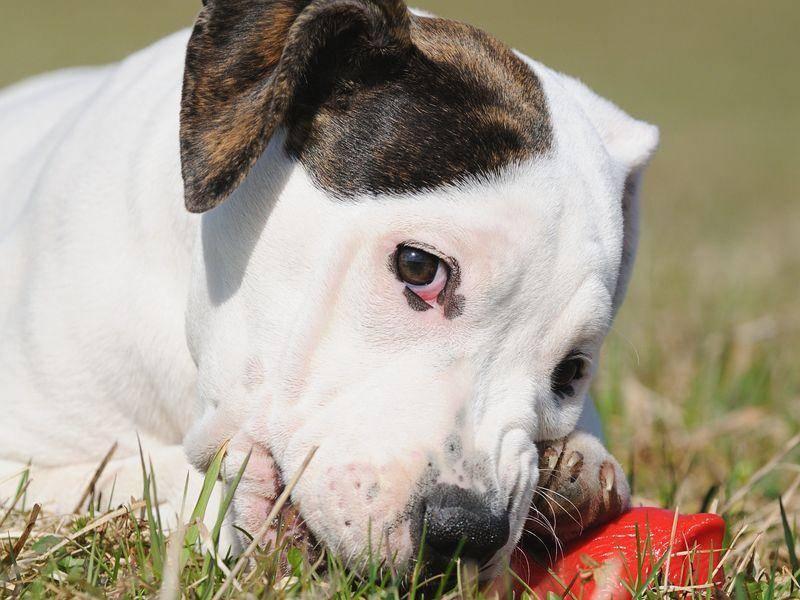 Kleine Englische Bulldogge mit Spielzeug auf der Hundewiese