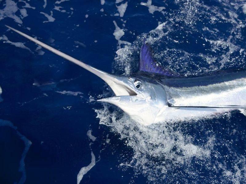 Fächerfisch: Schwimmt bis zu 100 Stundenkilometer schnell