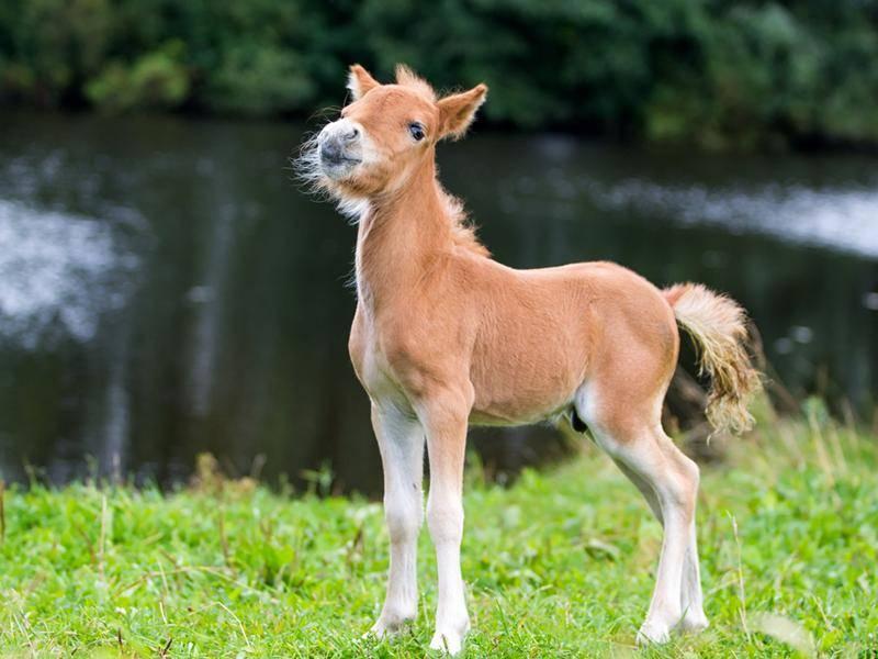 Falabella: Das argentinische Mini-Pferdchen ist das kleinste Pferd der Welt