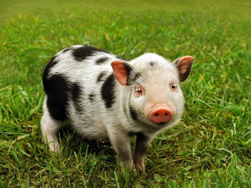 Geflecktes Schwein: Ferkel auf grüner Wiese