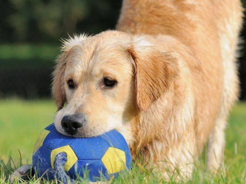 Ballspielen für Hunde: Golden Retriever