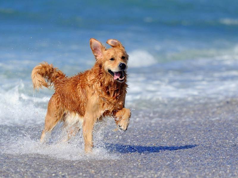 Golden Retriever: Amy war vergangenes Jahr der viertbeliebteste Hundename