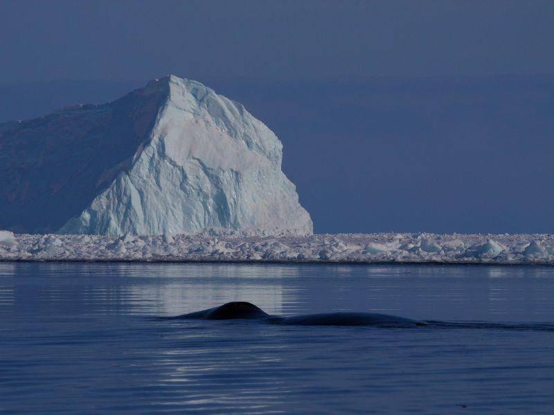 Platz 4: Grönlandwale können ein Alter von über 200 Jahren erreichen, wenn sie vom Walfang verschont bleiben