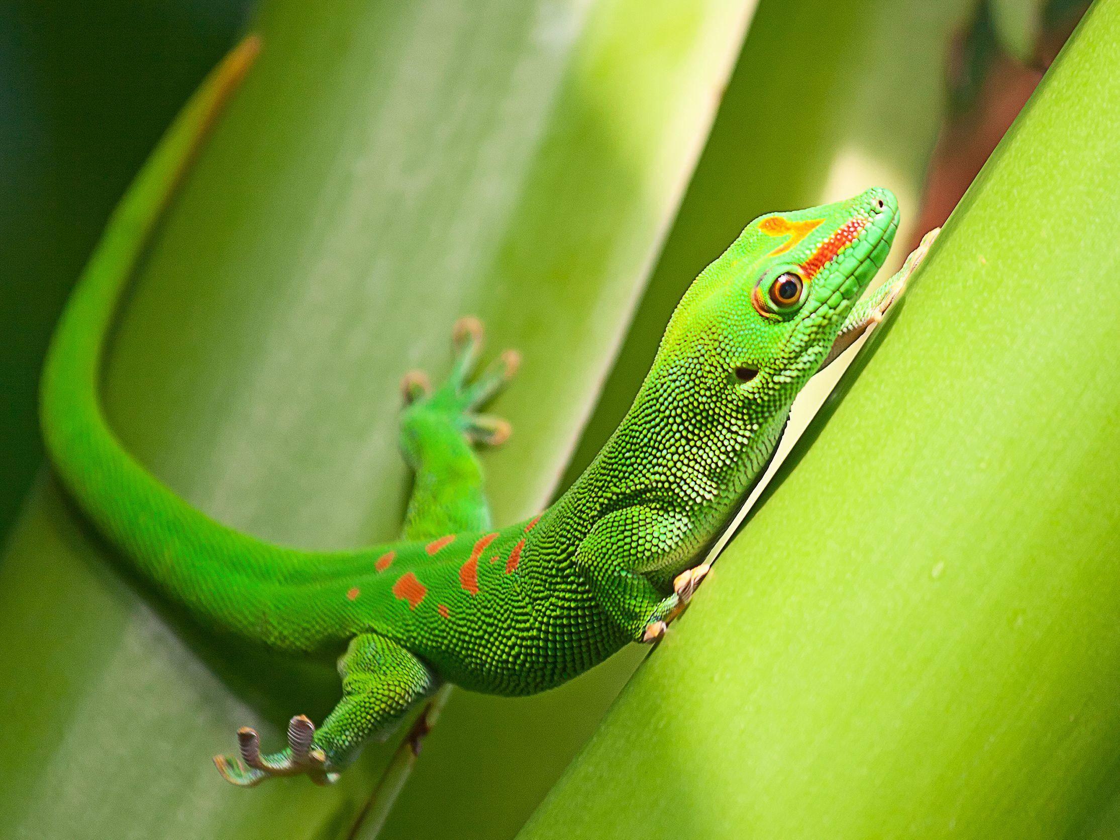 Prächtig: Ein grüner Gecko bei der Abendgymnastik — Bild: Shutterstock / Natali Glado