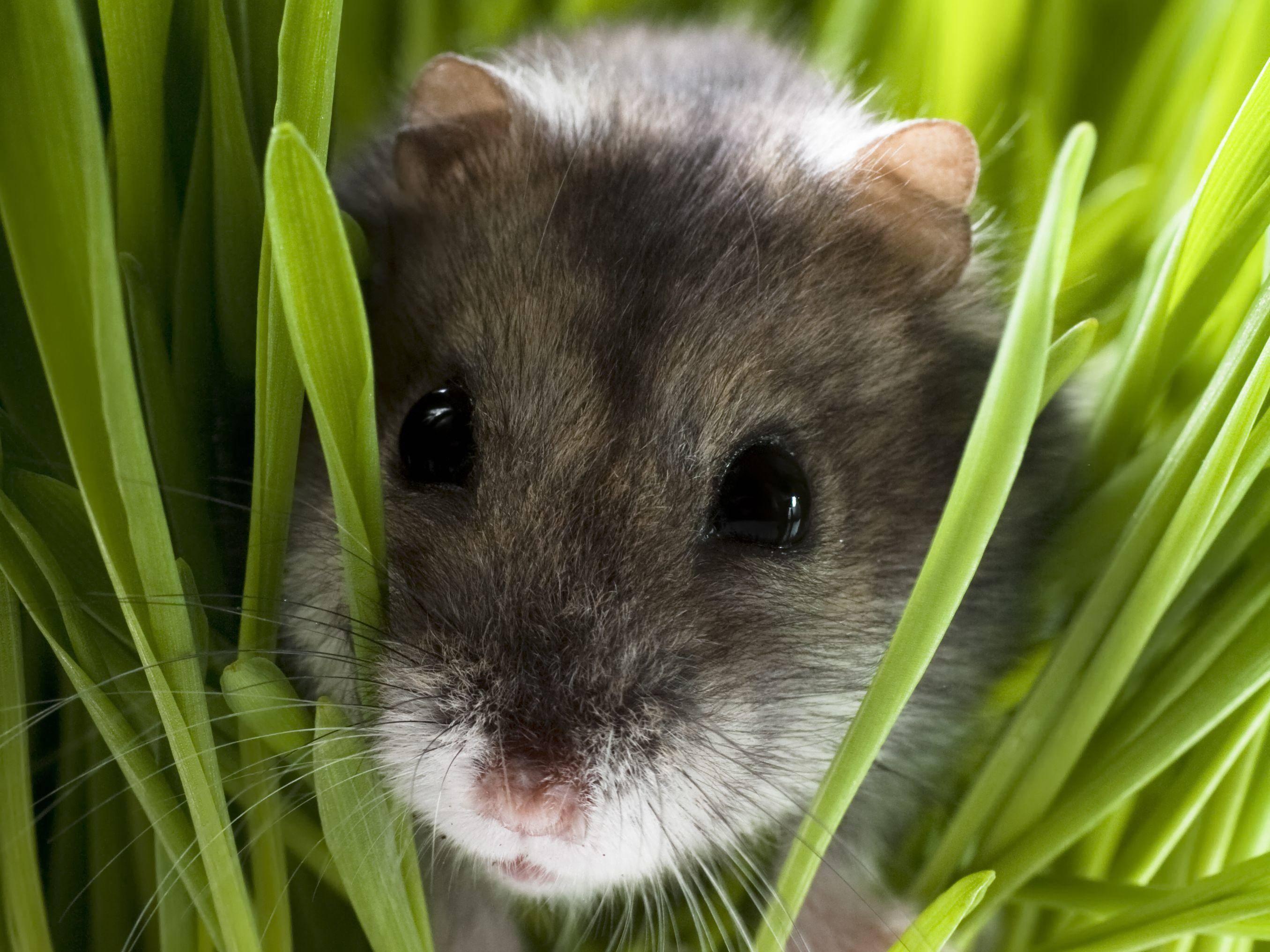 Hamster: Der kleinste Nager unter den Haustieren — Bild: Shutterstock / MilousSK