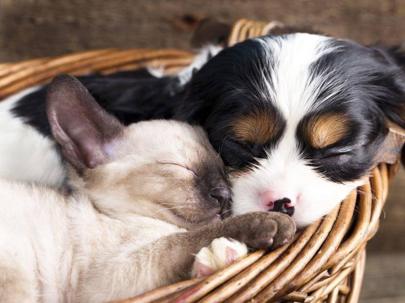 Siamkatze trifft Hundebaby: Supergemütlich