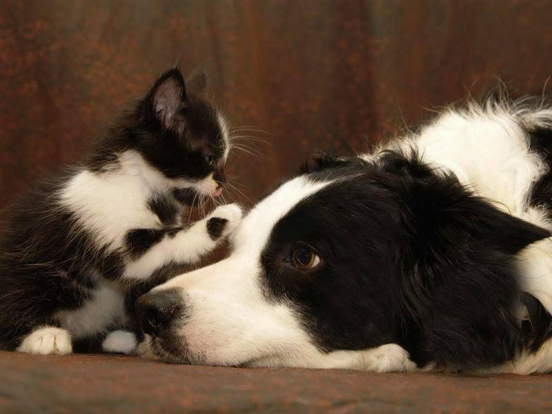 Kleine Katze, großer Hund: Es lebe die Freundschaft!