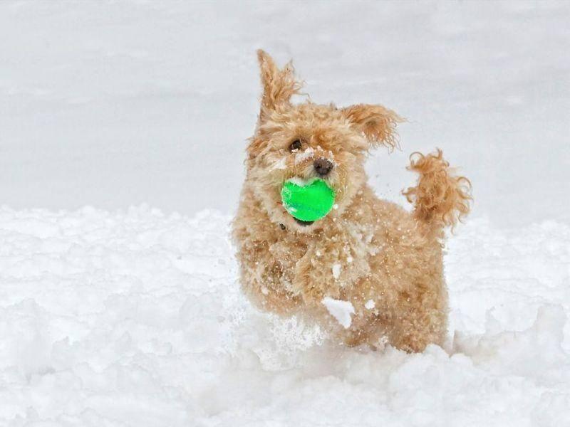 Ballspielen im Schnee: Doppelter Spaß für Hunde