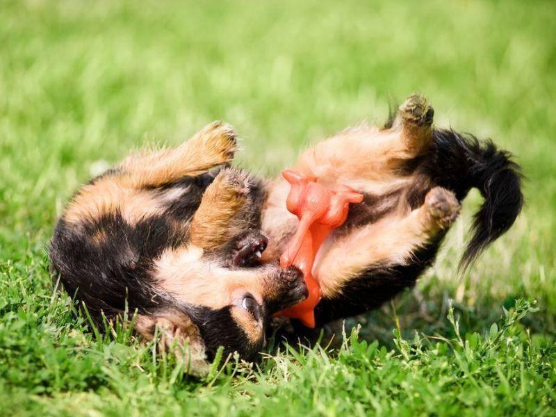 Außer Rand und Band: Hund mit seinem Lieblingsspielzeug
