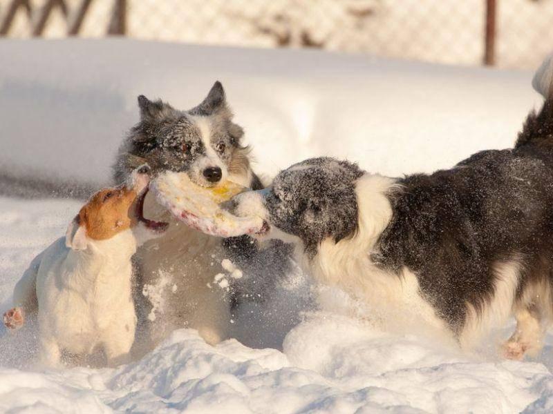Spaß für Hunde: Toben zu dritt im Schnee
