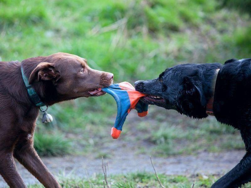 Wer ist stärker? Zwei Hunde im Kampf um das Lieblingsspielzeug