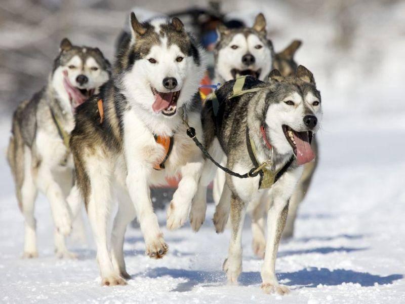 Schlittenfahren mit Hunden: Huskys lieben Schnee