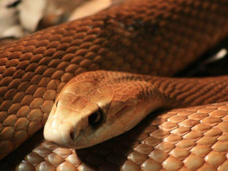 Inlandtaipan: Wegen ihres Gifts die tödlichste Schlange der Welt